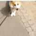 Sheldoncorgi.pl Blog o psach Welsh Corgi Pembroke - uparty pies, uparty corgi, charakter psa