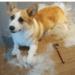 Sheldoncorgi.pl Blog o psach Welsh Corgi Pembroke - psia sierść
