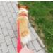 Sheldoncorgi.pl Blog o psach Welsh Corgi Pembroke - spacer z psem w Warszawie