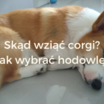 Welsh corgi Pembroke - pies, psy Skąd wziąć corgi? Jak wybrać hodowlę? - sheldoncorgi.pl