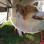 Sheldoncorgi.pl Blog o psach Welsh Corgi Pembroke - Bez jaj o kastracji - pies w kołnierzu