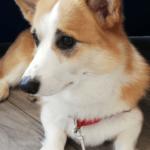 Sheldoncorgi.pl Blog o psach Welsh Corgi Pembroke - pies i dziecko