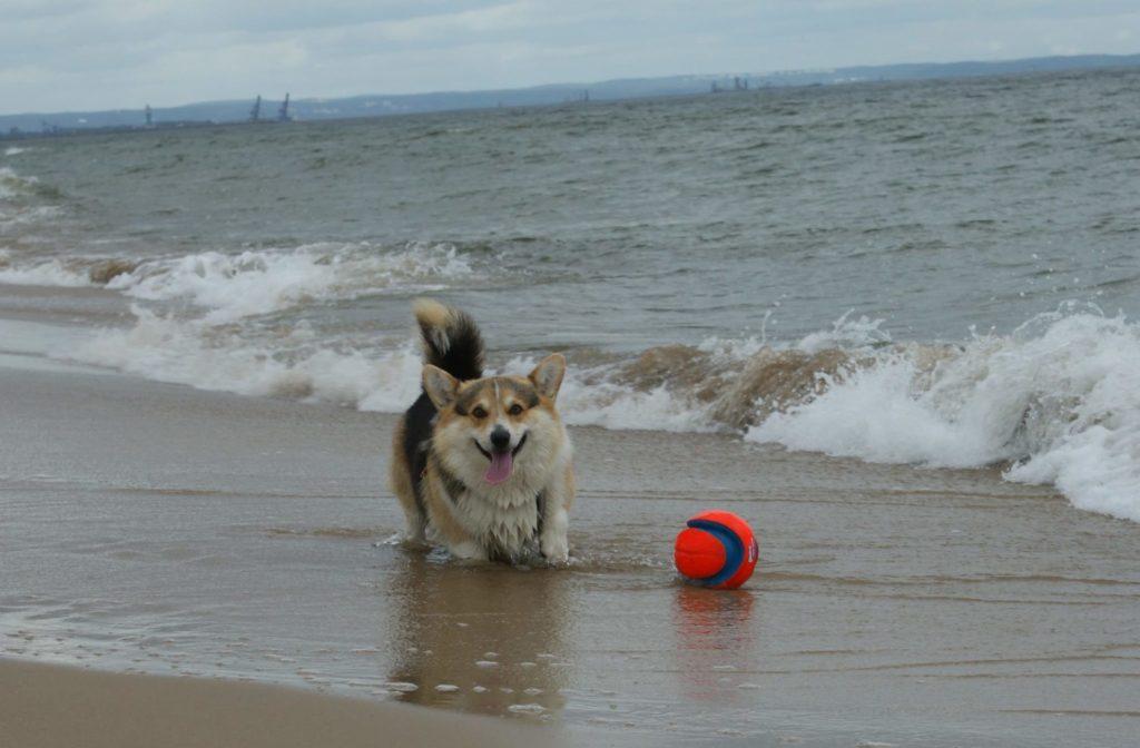 Jak psy pomagają w życiu niepełnosprawnym? Dogoterapia - sheldoncorgi.pl Blog o psach