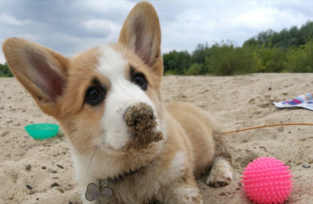 Zdjęcie przedstawia szczeniaka corgi - Sheldona na plaży
