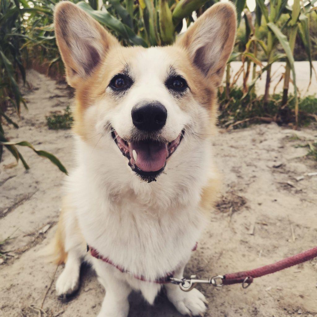 Sheldoncorgi.pl - blog o psach, corgi, minusy posiadania psa